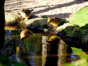 Gorriones bebiendo agua