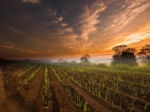 Amanece sobre un campo de cultivo