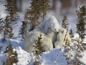 Pequeño oso polar sobre su mamá dormida