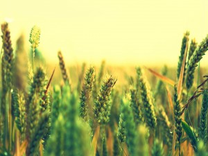 Agua sobre el trigo verde