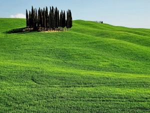 Pinos en la colina verde
