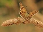 Mariposa sobre una espiga