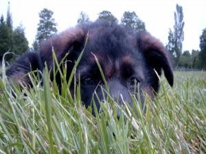 Perrito oculto detrás de la hierba