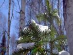 Restos de nieve sobre las ramas de un pequeño pino