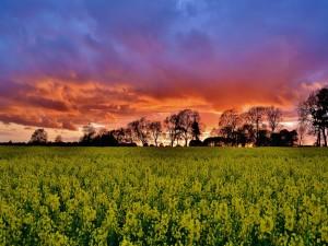 Amanecer sobre un campo de flores amarillas