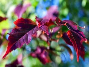 Hojas rojas en las ramas