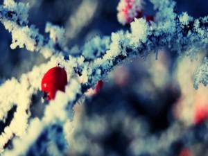 Bayas en un árbol nevado