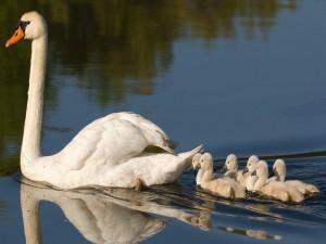 Bonito cisne paseando con sus crías