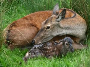 Cervatillo recién nacido junto a su mamá