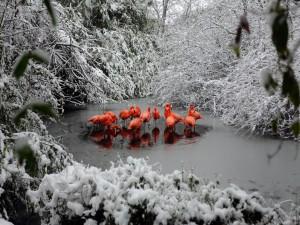Preciosos y coloridos flamencos en la nieve
