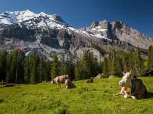 Vacas suizas pastando en los Alpes