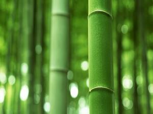 Ramas verdes de bambú