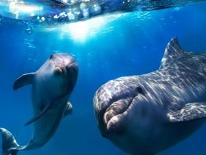 Una pareja de delfines jugando bajo el agua