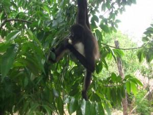 Gracioso mono colgado de una rama