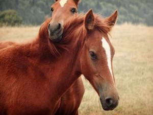 Tierna pareja de caballos