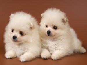 Dos cachorros de pelo blanco