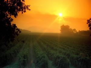 Sol iluminando el viñedo