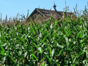 Casa de madera tras el campo de maíz