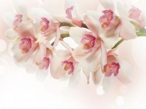 Rama de orquídeas blancas con el labelo rosado