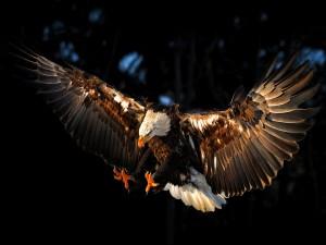 Un águila planeando