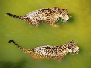 Pareja de jaguares en el agua