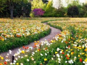 Camino entre amapolas de varios colores