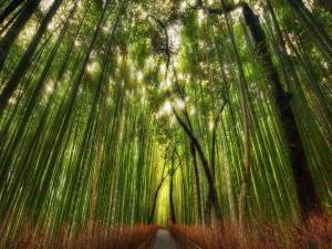 Camino en un bosque de bambú