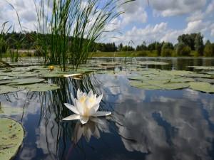 Hermosa flor de nenúfar en el agua