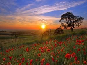 Sol sobre un campo de amapolas