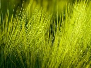 Finas briznas de hierba