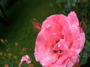 Gotitas de rocío sobre una rosa color rosa