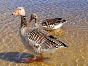 Un par de gansos en el agua clara