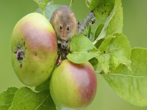 Mariquita y ratón sobre una rama con manzanas
