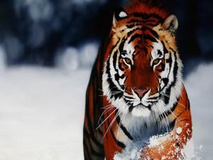 Mirada severa de un tigre