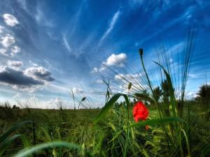 Amapola entre el trigo verde