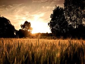 Espigas de trigo recibiendo la luz del sol