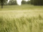 Trigo verde en el campo