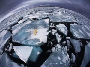 Oso polar aislado en una placa de hielo
