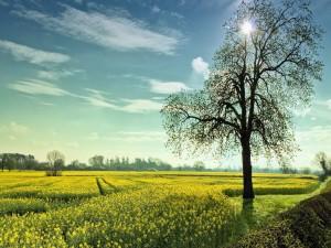 Sol brillando sobre un campo de flores amarillas