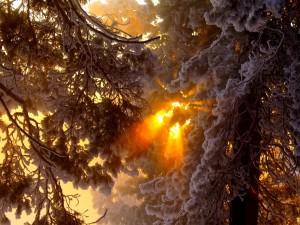 Rayos de sol penetrando entre las ramas de los árboles nevados