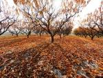 Árboles de melocotón durante el otoño