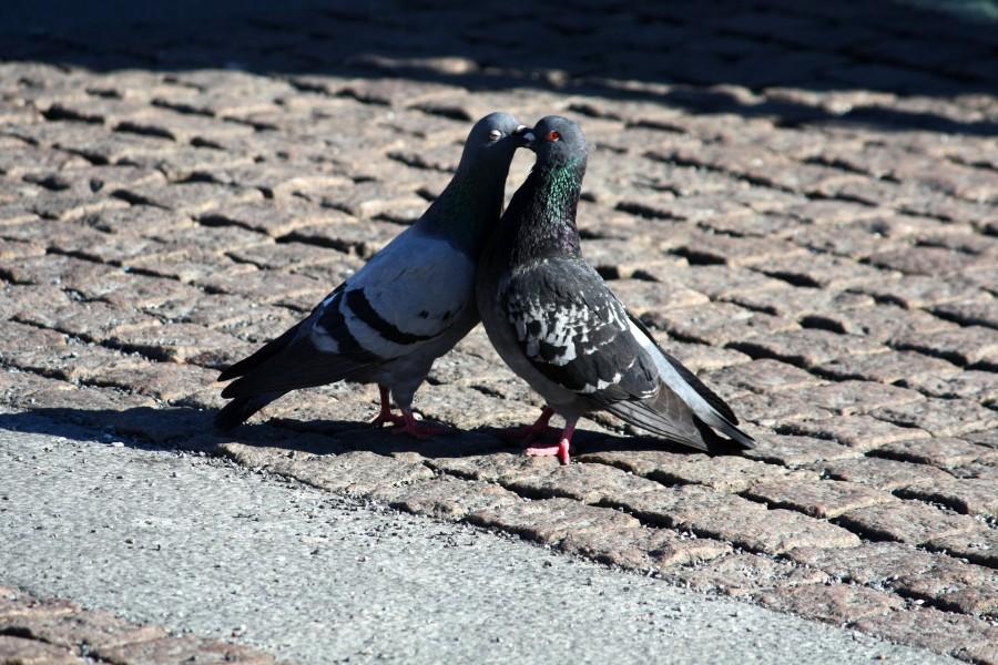 Pareja de palomas enamoradas