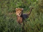 Un lindo cachorro de guepardo