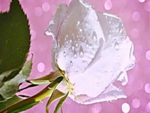 Gotas de rocío sobre una bella rosa blanca