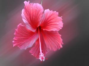 Atractivo hibisco con pétalos rosados