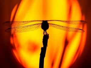 Silueta de una libélula a la entrada del sol