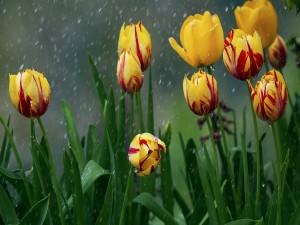 Tulipanes amarillos bajo la lluvia