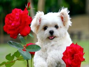 Perrito junto a las rosas rojas del jardín