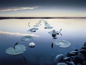 Nenúfares sobre un lago