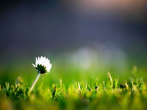 Margarita solitaria sobre la hierba
